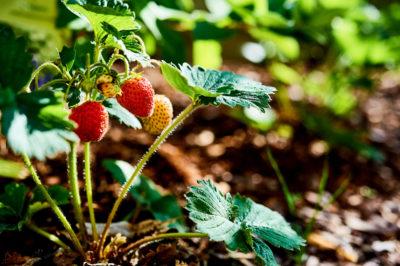 Erdbeeren im Garten